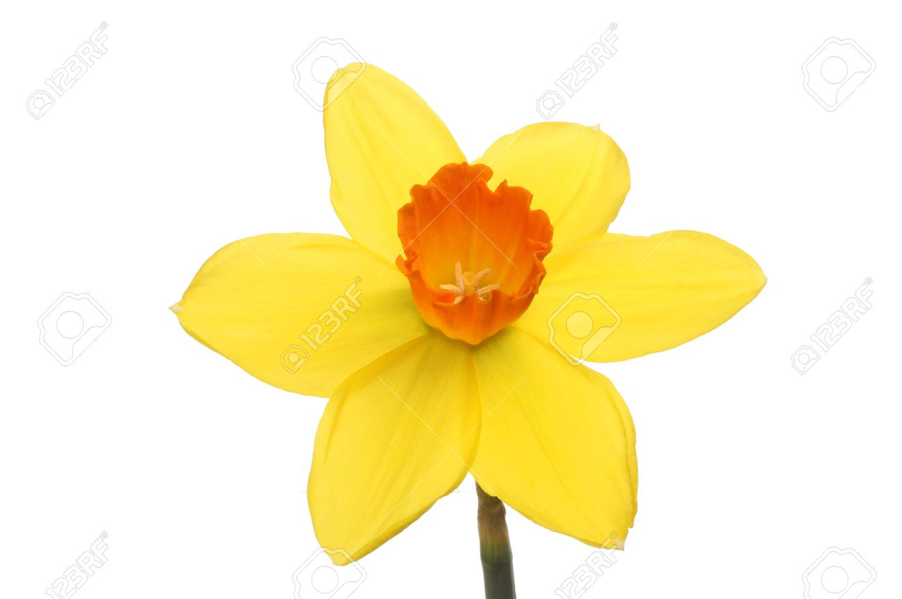 Bright Yellow Daffodil Flower With A Deep Orange Center Isolated