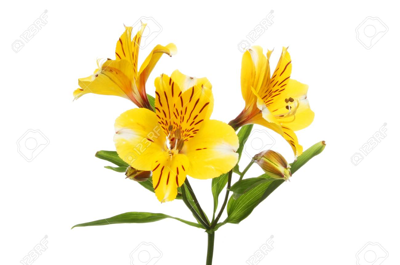 Bright yellow alstroemeria flowers flower buds and leaves isolated bright yellow alstroemeria flowers flower buds and leaves isolated against white stock photo 81764699 mightylinksfo Gallery