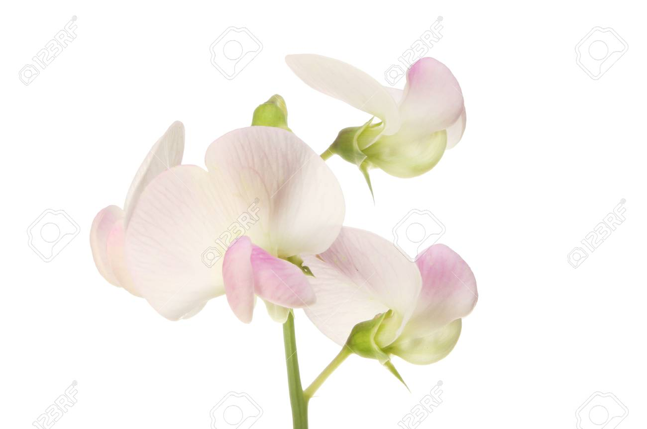 Closeup Of White And Purple Tinged Sweet Pea Flowers Stock Photo
