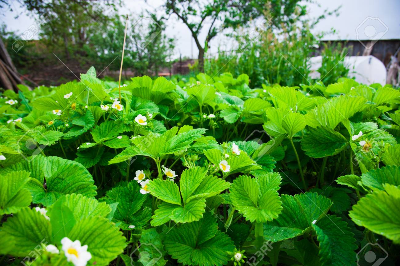 Strawberry blooms strawberry bushes with white flowers stock photo strawberry bushes with white flowers mightylinksfo