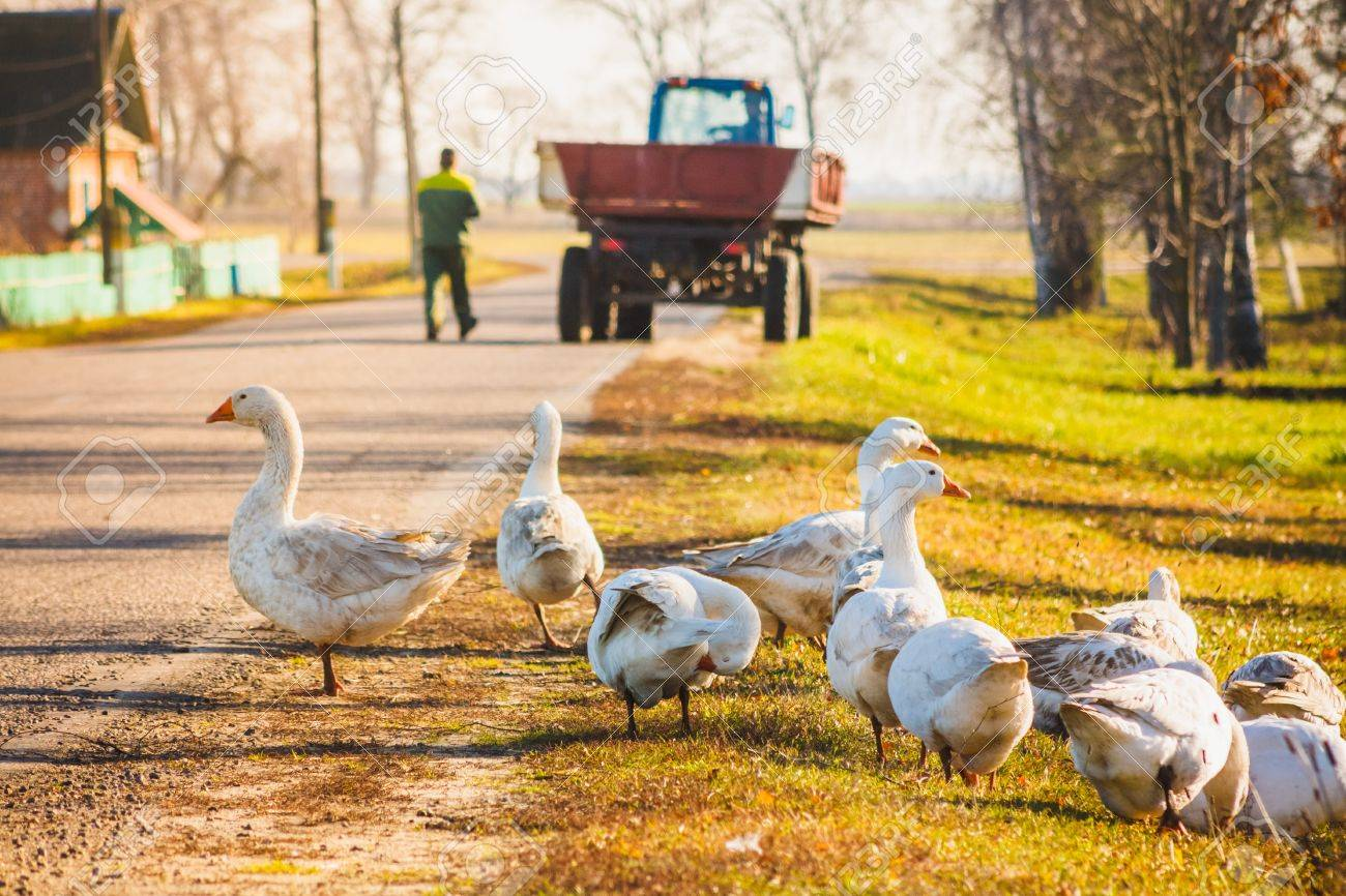 Geese on green grass Stock Photo - 17415902