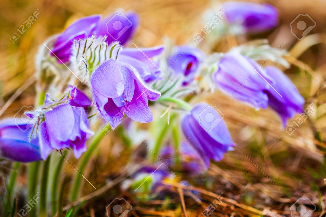 Wild spring flowers pulsatilla patens flowering plant in family stock photo wild spring flowers pulsatilla patens flowering plant in family ranunculaceae native to europe russia mongolia china canada and united mightylinksfo