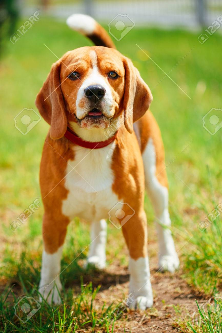 Young Beautiful Brown And White Beagle Dog Puppy Standing On Stock Photo Picture And Royalty Free Image Image 33213310