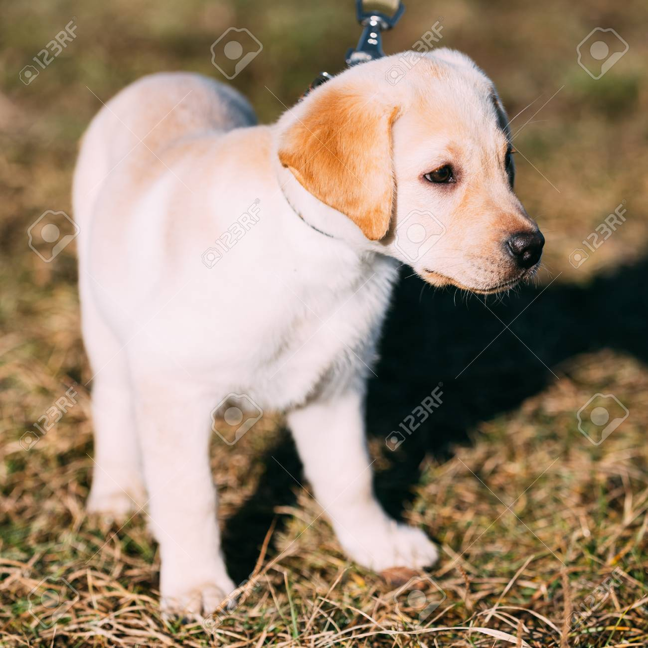 Beautiful White Dog Lab Labrador Retriever Pup Puppy Whelp Outdoor Stock Photo Picture And Royalty Free Image Image 39182318