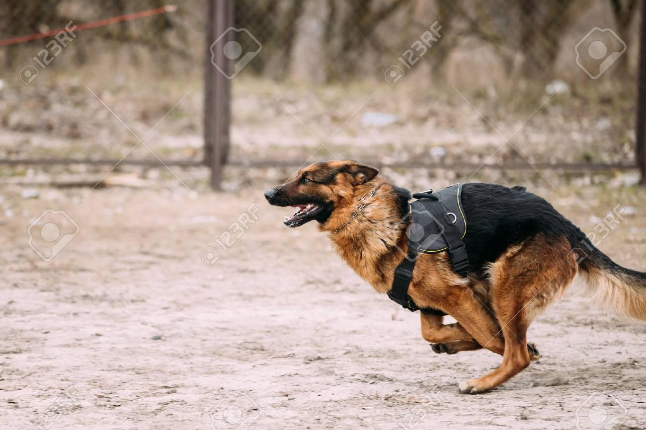 Fast In German >> Fast Running German Shepherd Dog At Training Alsatian Wolf Dog