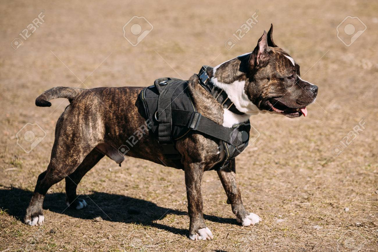 dog american staffordshire terrier posing on obedience posing