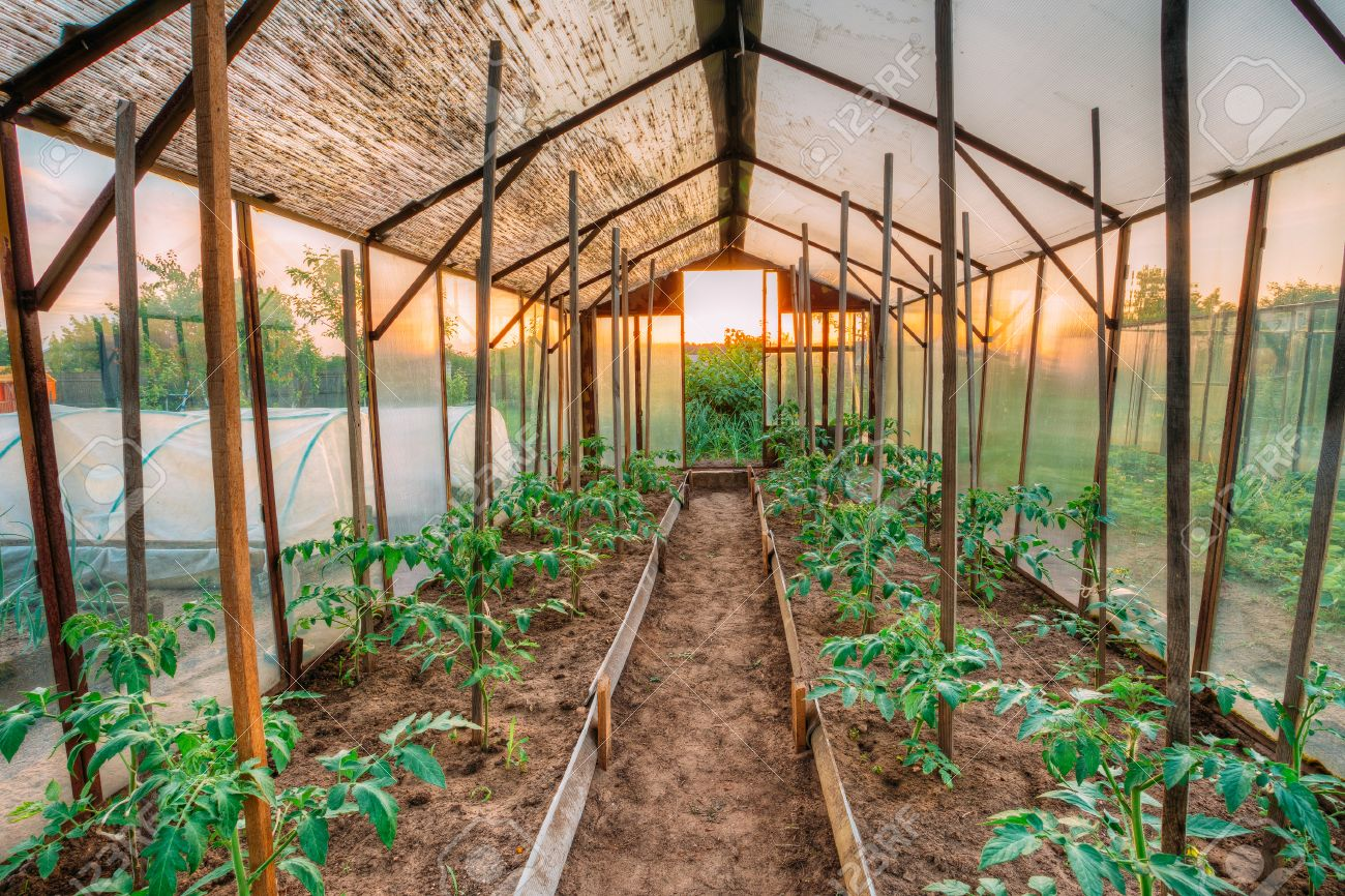 Charmant Stock Photo   Tomatoes Vegetables Growing In Raised Beds In Vegetable  Garden And Hothouse Or Greenhouse. Summer Season