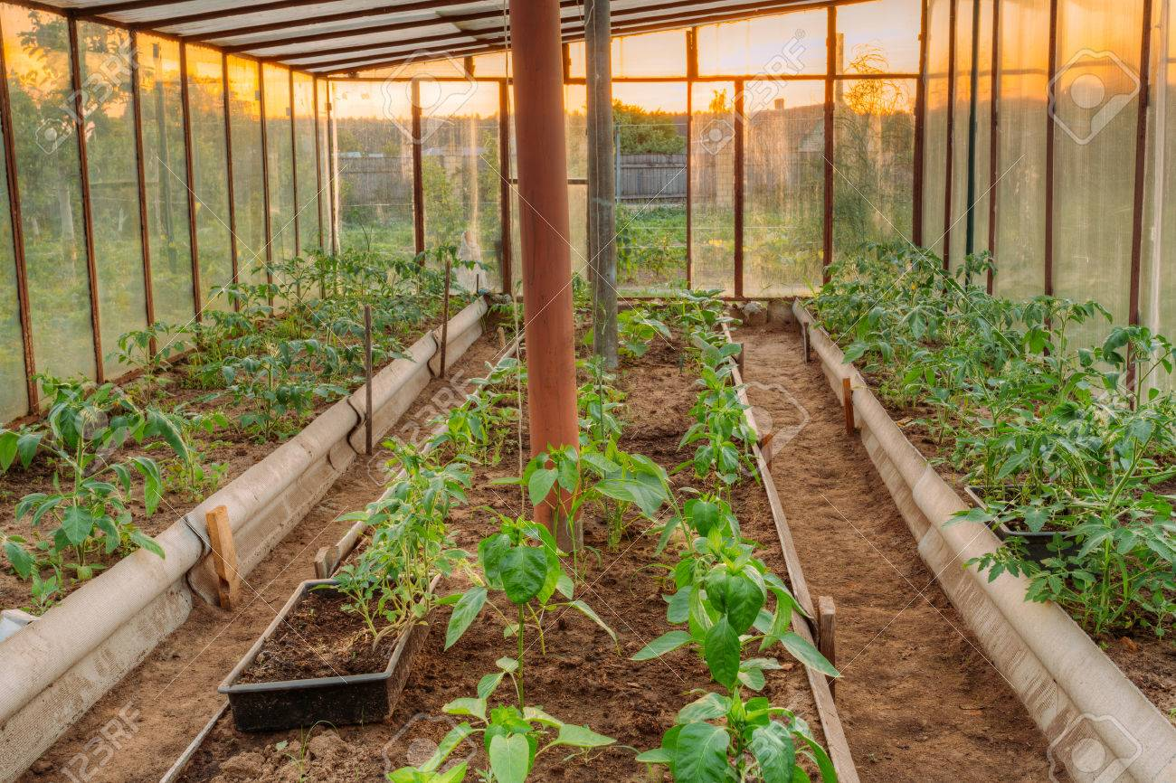 Tomatoes Vegetables Growing In Raised Beds In Vegetable Garden ...