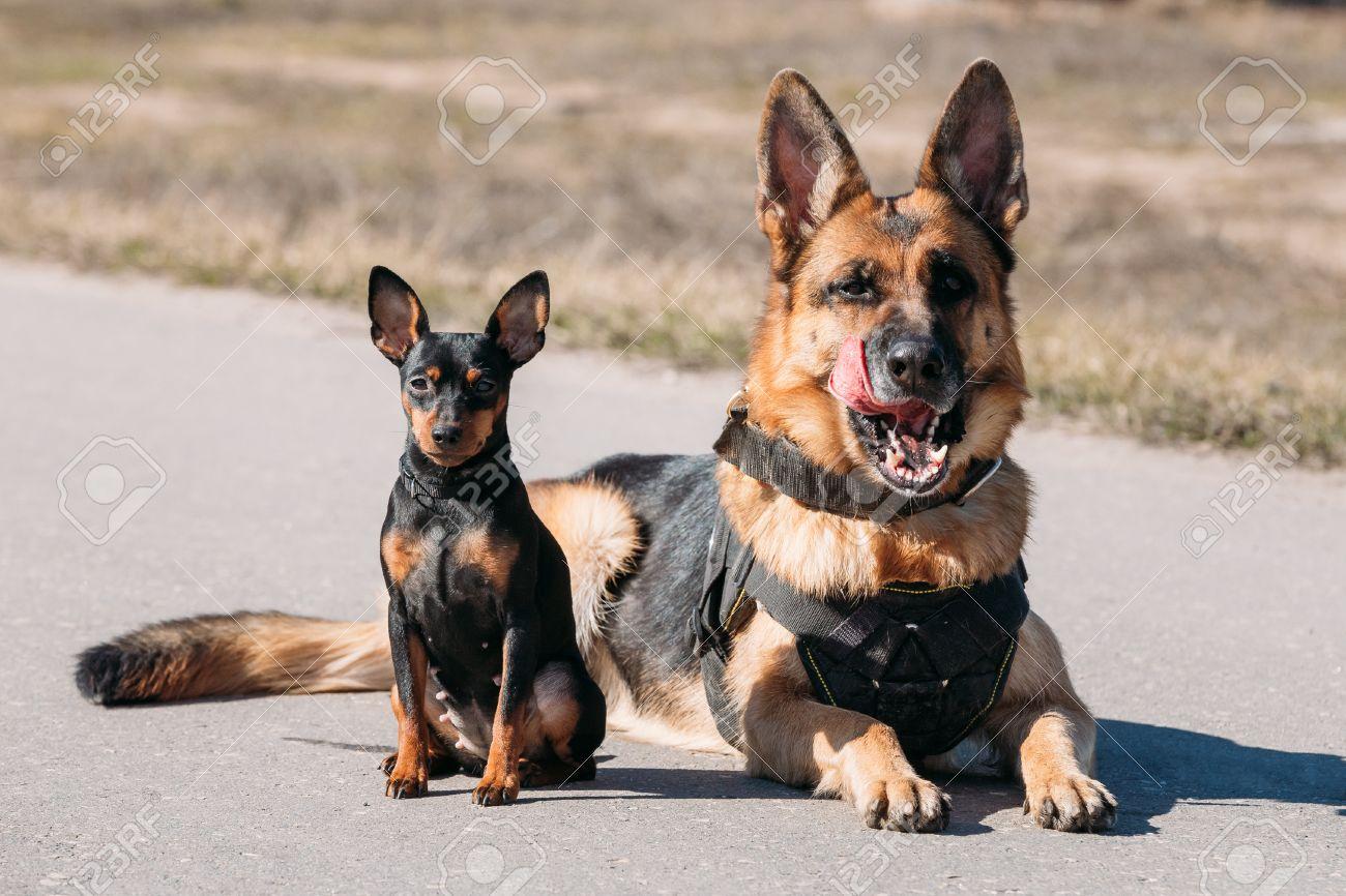 brown german sheepdog alsatian wolf dog and black miniature pinscher