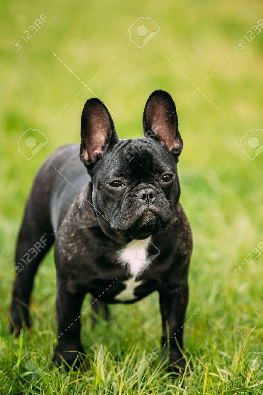 Young Black French Bulldog Puppy Dog With A White Spot On His Stock Photo Picture And Royalty Free Image Image 69704770