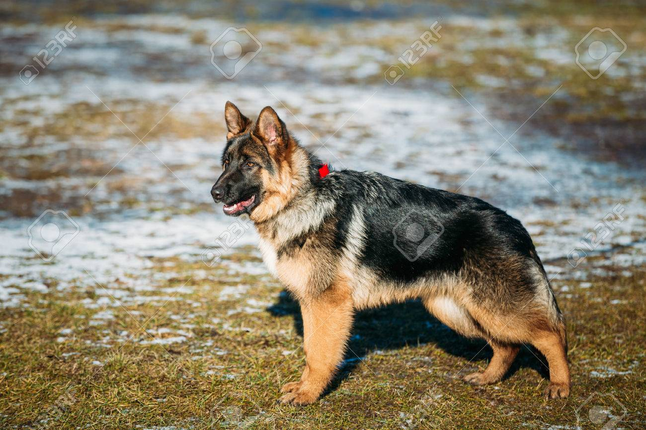 Beautiful Young Brown German Shepherd Puppy Dog Staying Stock Photo Picture And Royalty Free Image Image 69843498