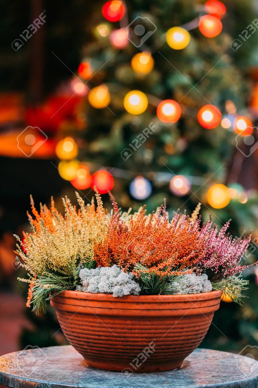 Christmas Bush In Pots.Bush Of Yellow And Red Colors Calluna Plants In Pots In Garden