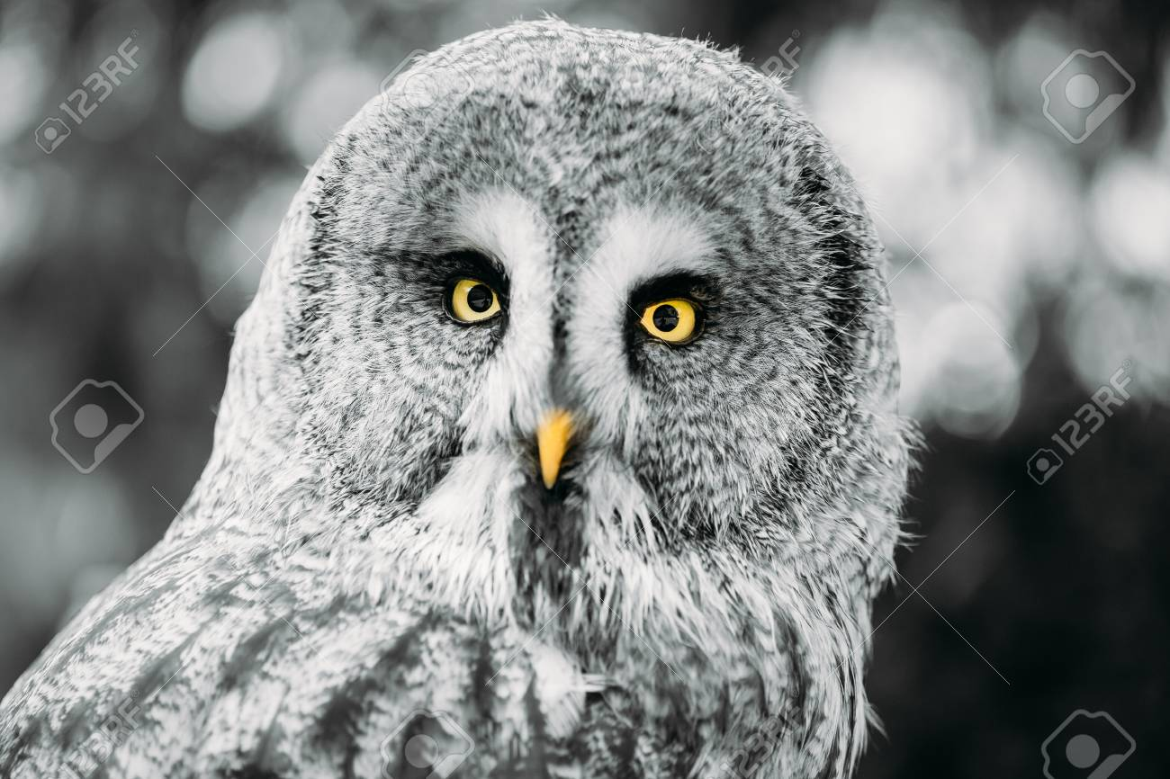 The Great Grey Owl Or Great Gray Owl Strix Nebulosa Is Very
