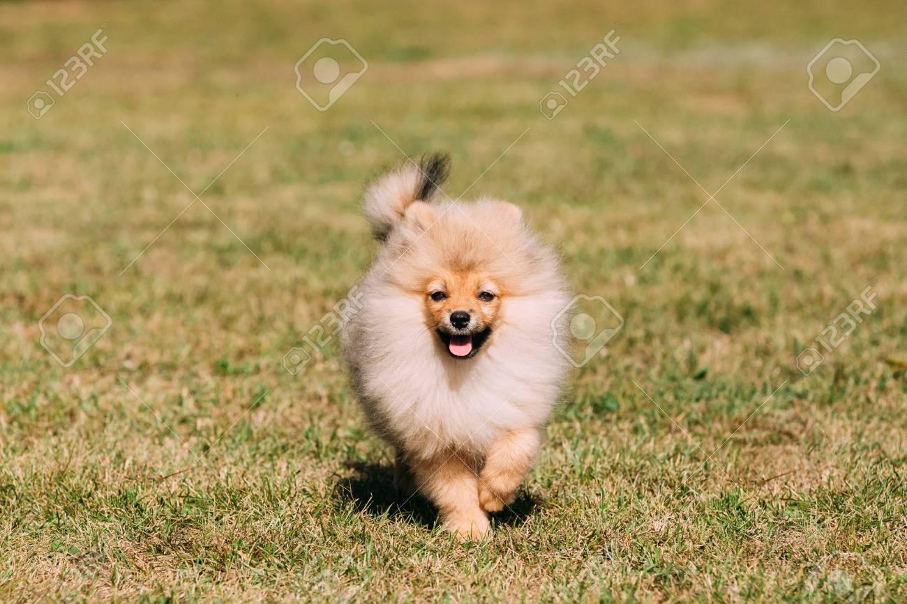 Young Happy White Puppy Pomeranian Spitz Puppy Dog Running Outdo