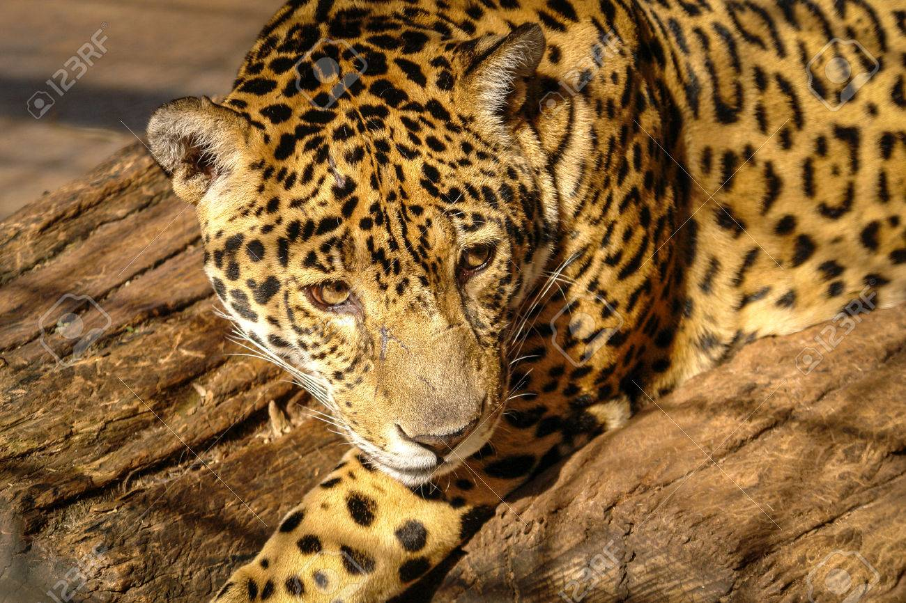Banco De Imagens   Jaguar Looking At A Zoo In South America