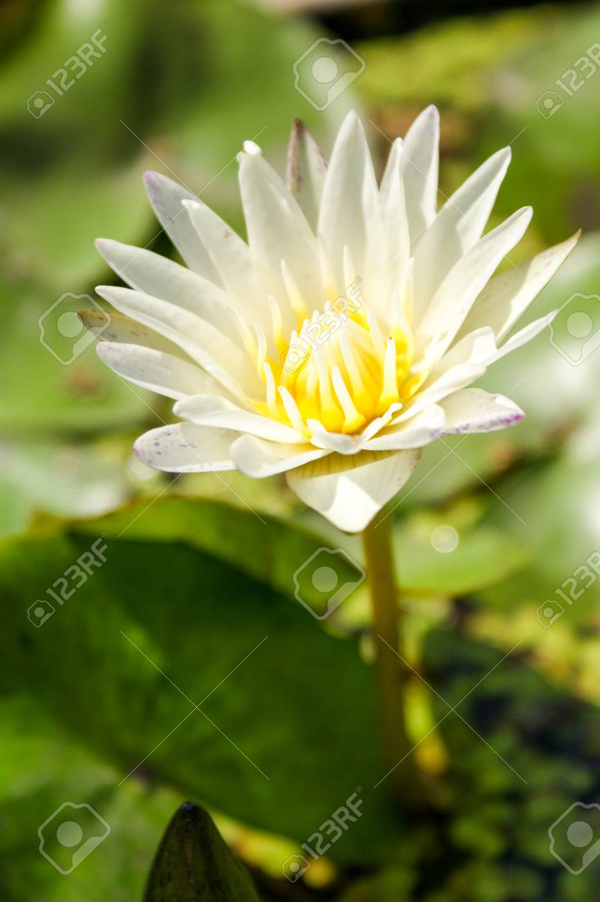 Lily pad with white flower stock photo picture and royalty free lily pad with white flower stock photo 69784209 izmirmasajfo