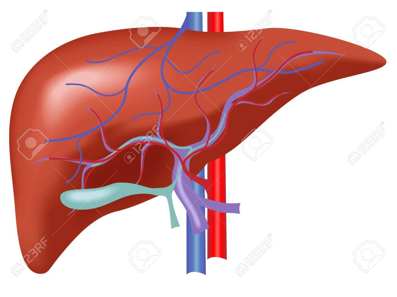 Anatomía De Hígado Humano, Vector De Hígado Con Sangre Arteria Y La ...