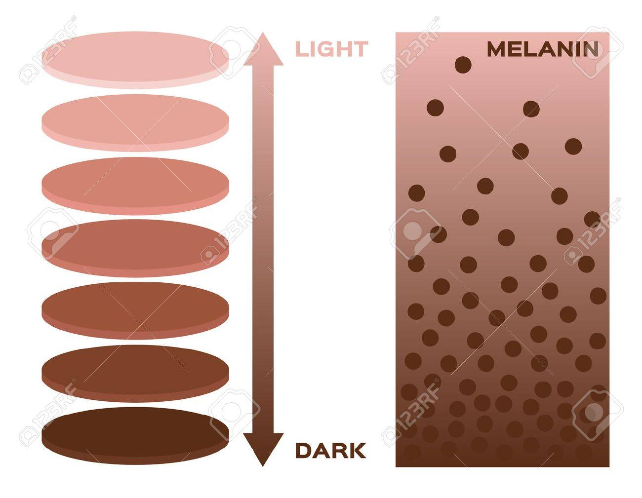 Skin color and melanin index infographic vector 3 chart skin color and melanin index infographic vector 3 chart dark to light skin nvjuhfo Images