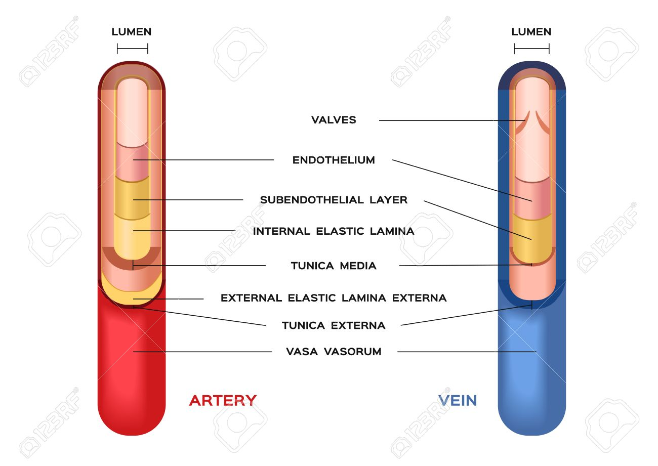 Blood Artery And Vein Circulatory System Vector Red Indicates