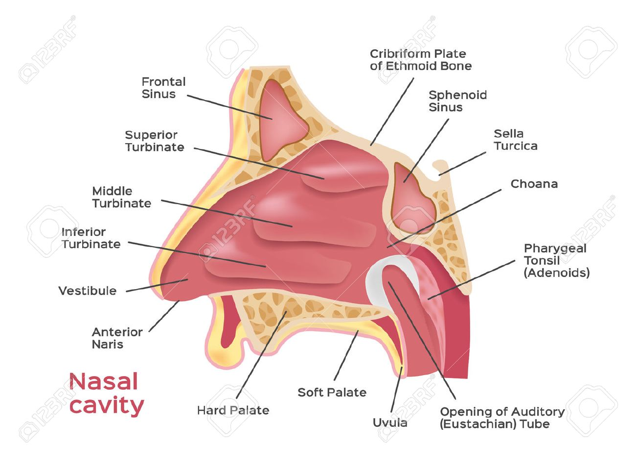 Nasal Cavity . Vector Illustration Of Human Nose Diagram . Inside ...