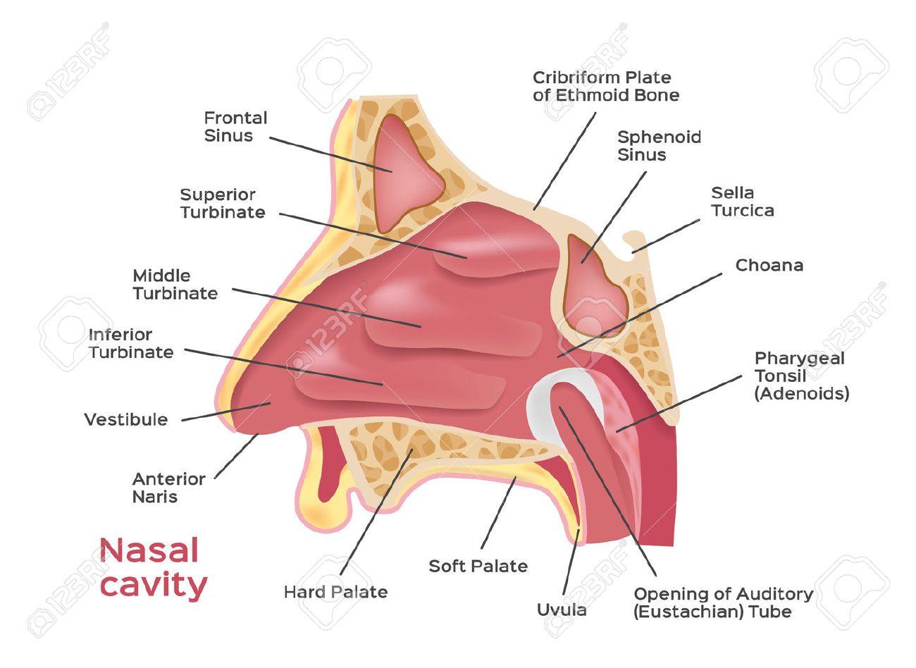Cavidad Nasal . Ilustración Vectorial De Diagrama De Nariz Humana ...