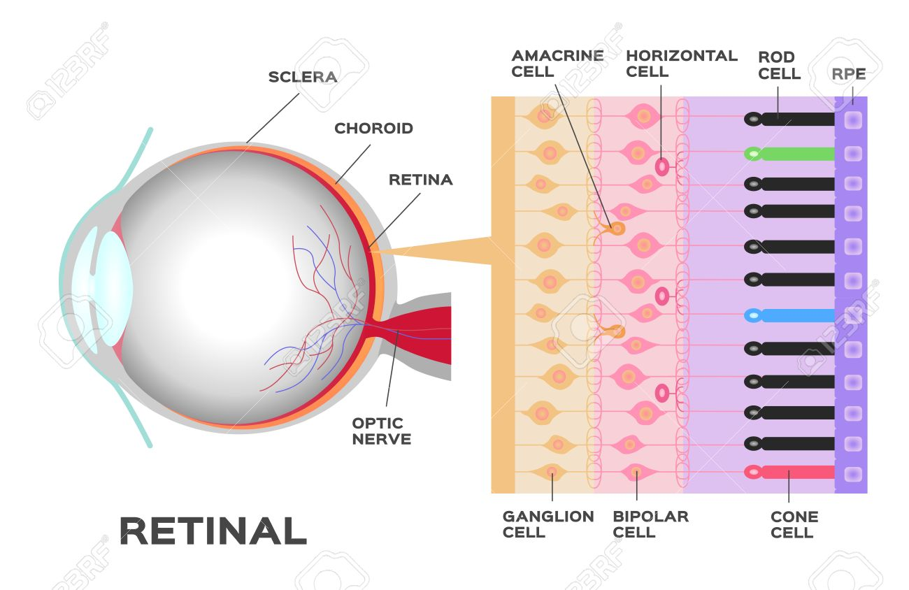 eye infographic: photoreceptor in the retina of the eye  structure and  function rod and