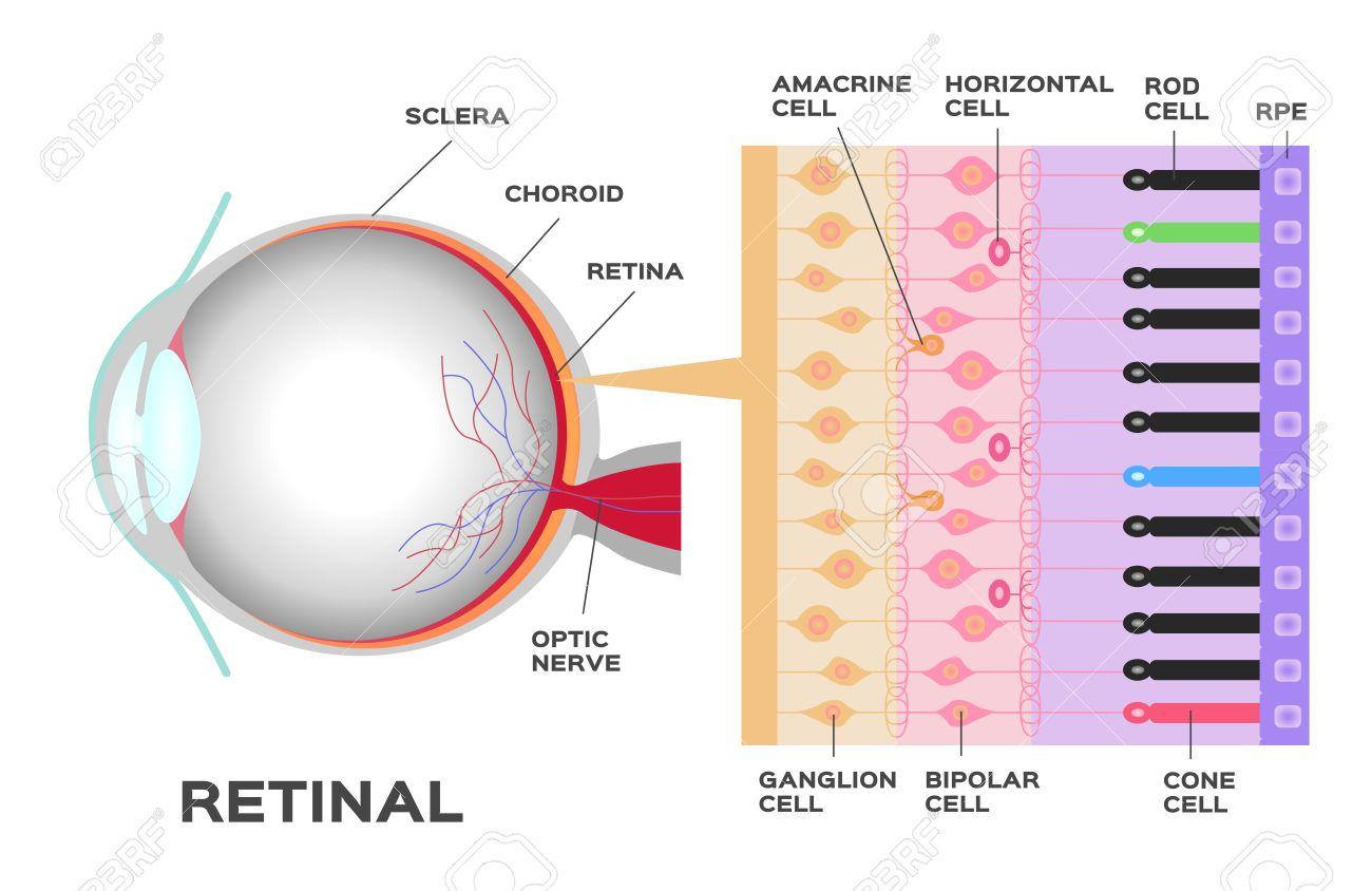 Infografía Ojo Fotorreceptores En La Retina Del Ojo Estructura Y Función De La Barra Y Cono Células Esquema Del Vector