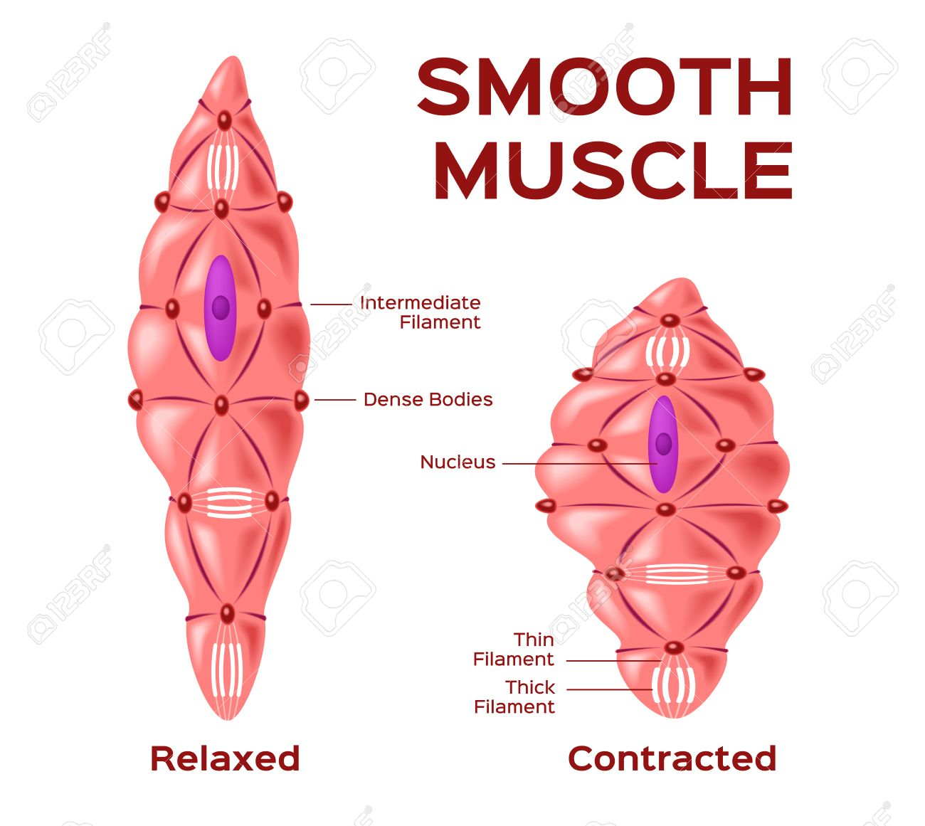 Smooth Muscle Cell Vector Anatomy Relaxed And Contracted