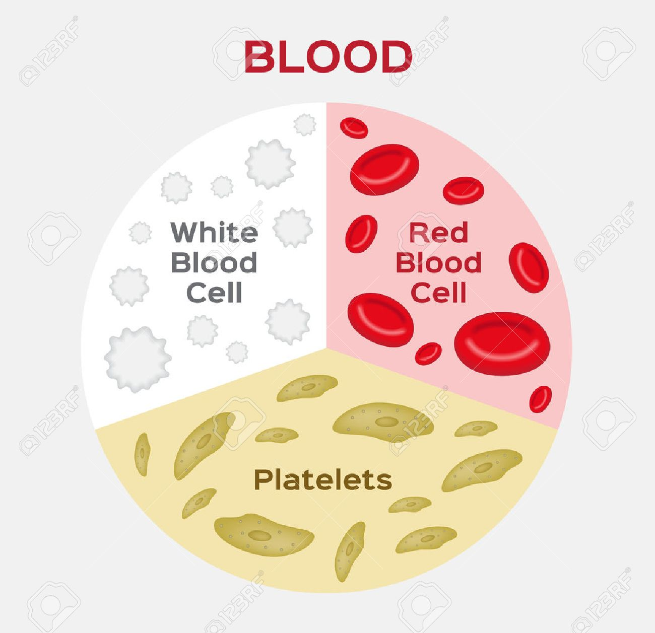 Composition Of Blood Diagram . Red And White Blood Cell . Vector ...