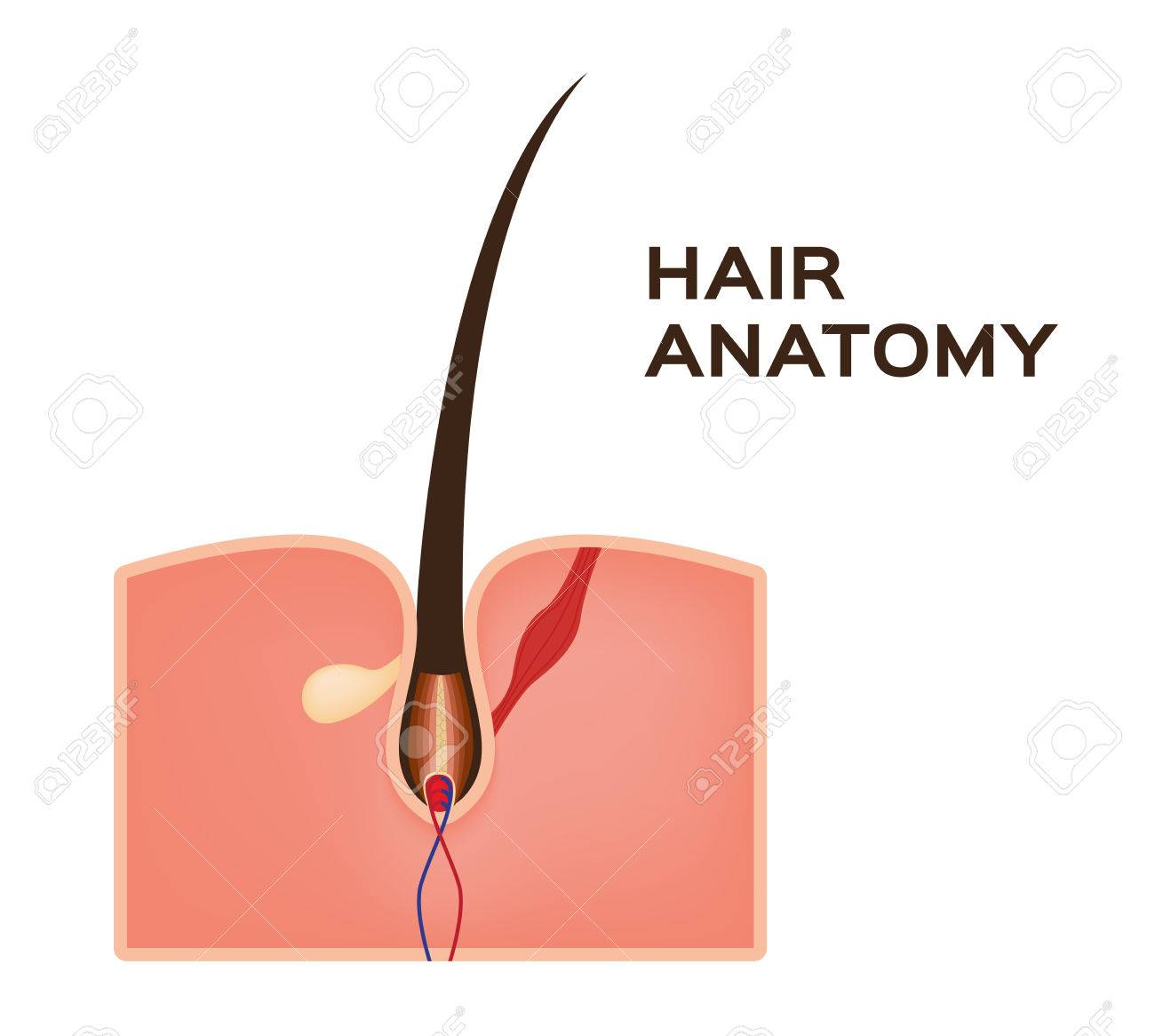 Hair Structure Anatomy Images Human Body Anatomy