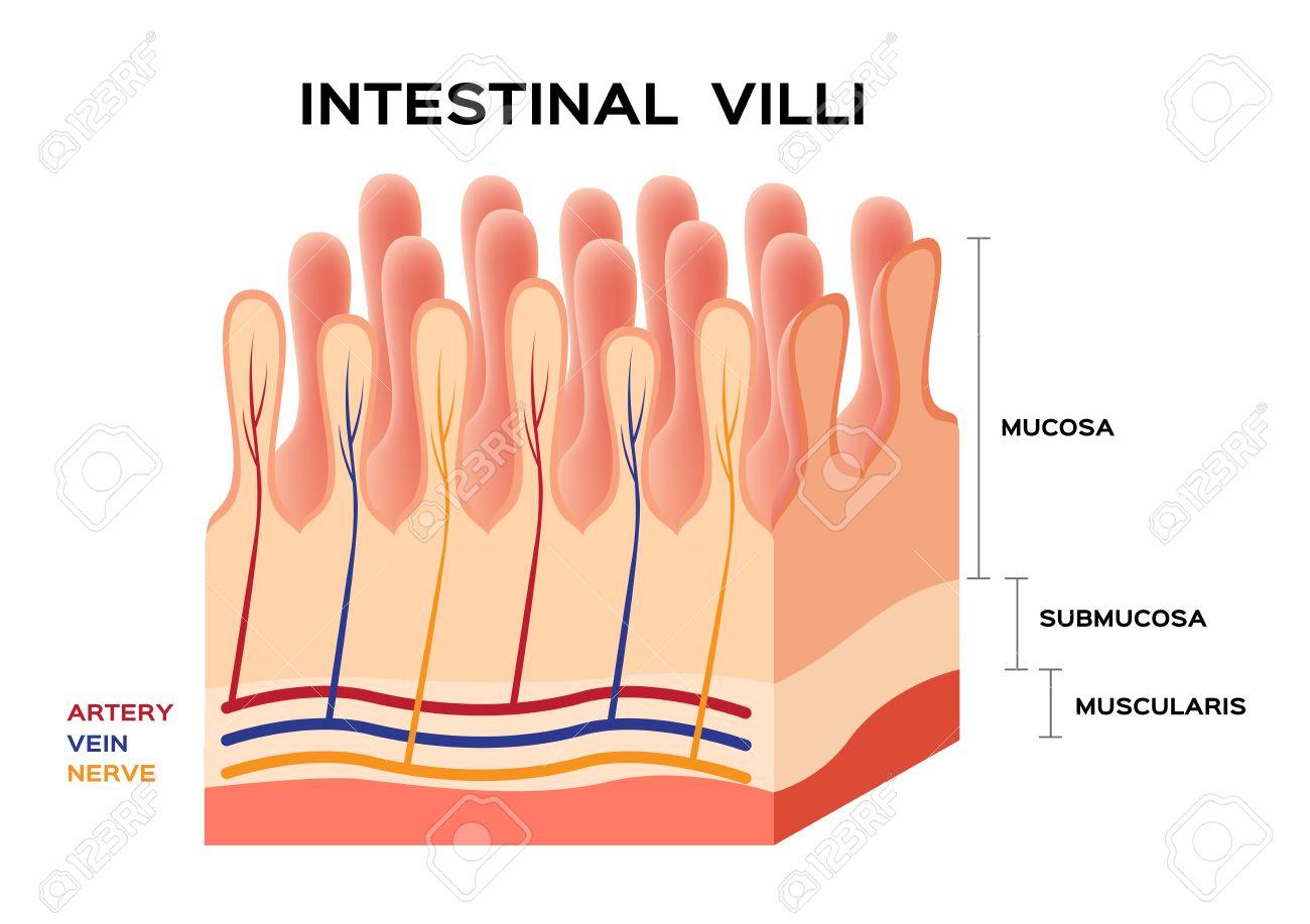 Anatomía Vellosidades Intestinales, Pequeña Pared Intestinal ...