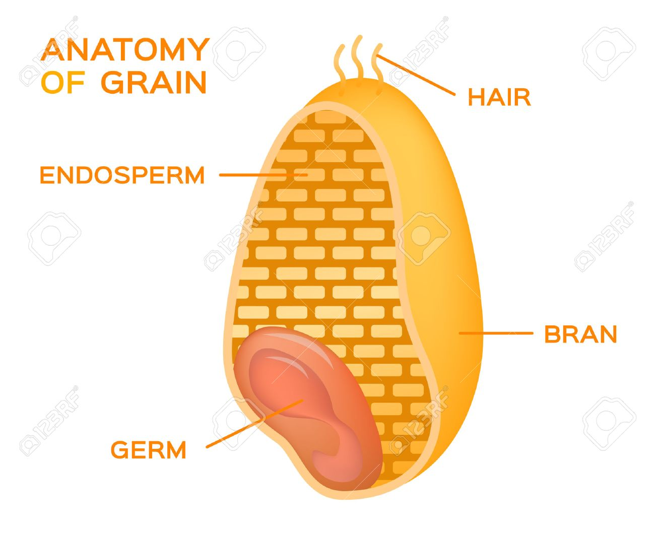 Grain Cross Section Anatomy Endosperm Germ Bran Layer And
