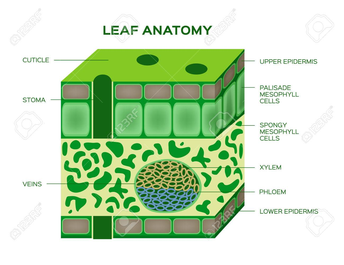 Vector Of A Leaf Anatomy On A White Background Royalty Free Cliparts
