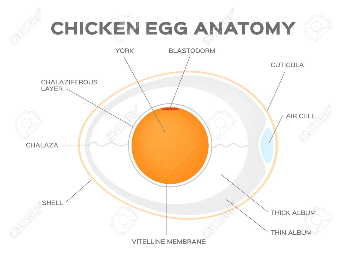Chicken Egg Anatomy Vector Royalty Free Cliparts, Vectors, And Stock ...