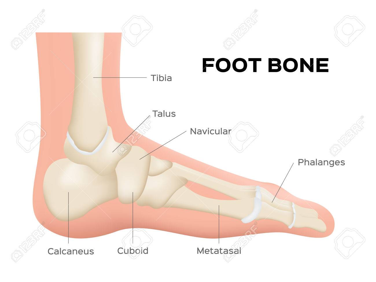 Human Foot Bone Anatomy . Vector Royalty Free Cliparts, Vectors, And ...