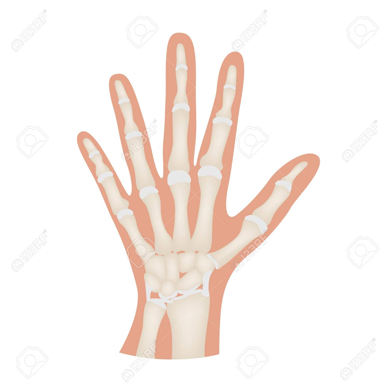 Hand Bone Anatomy Vector Royalty Free Cliparts, Vectors, And Stock ...