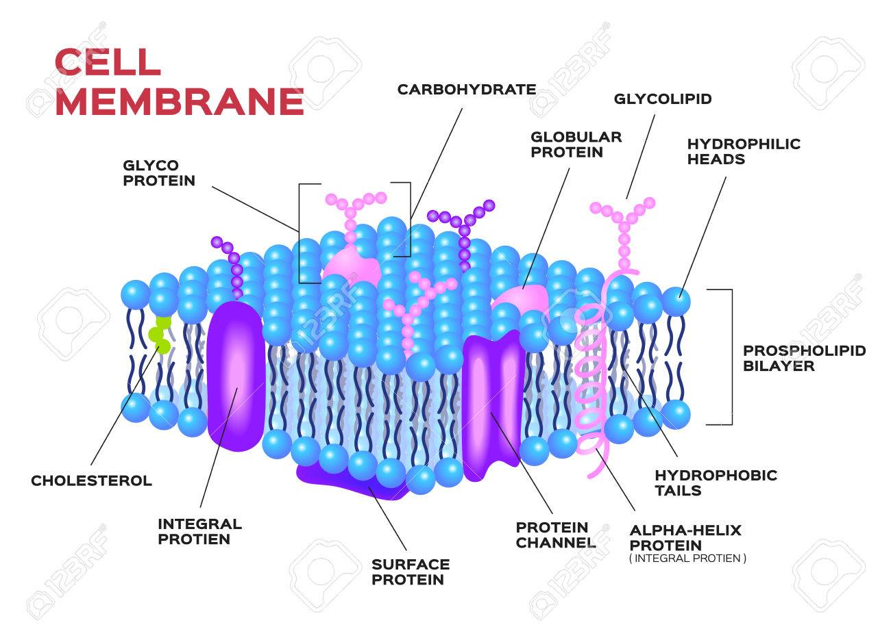 Cell Membrane Vector . Anatomy Royalty Free Cliparts, Vectors, And ...