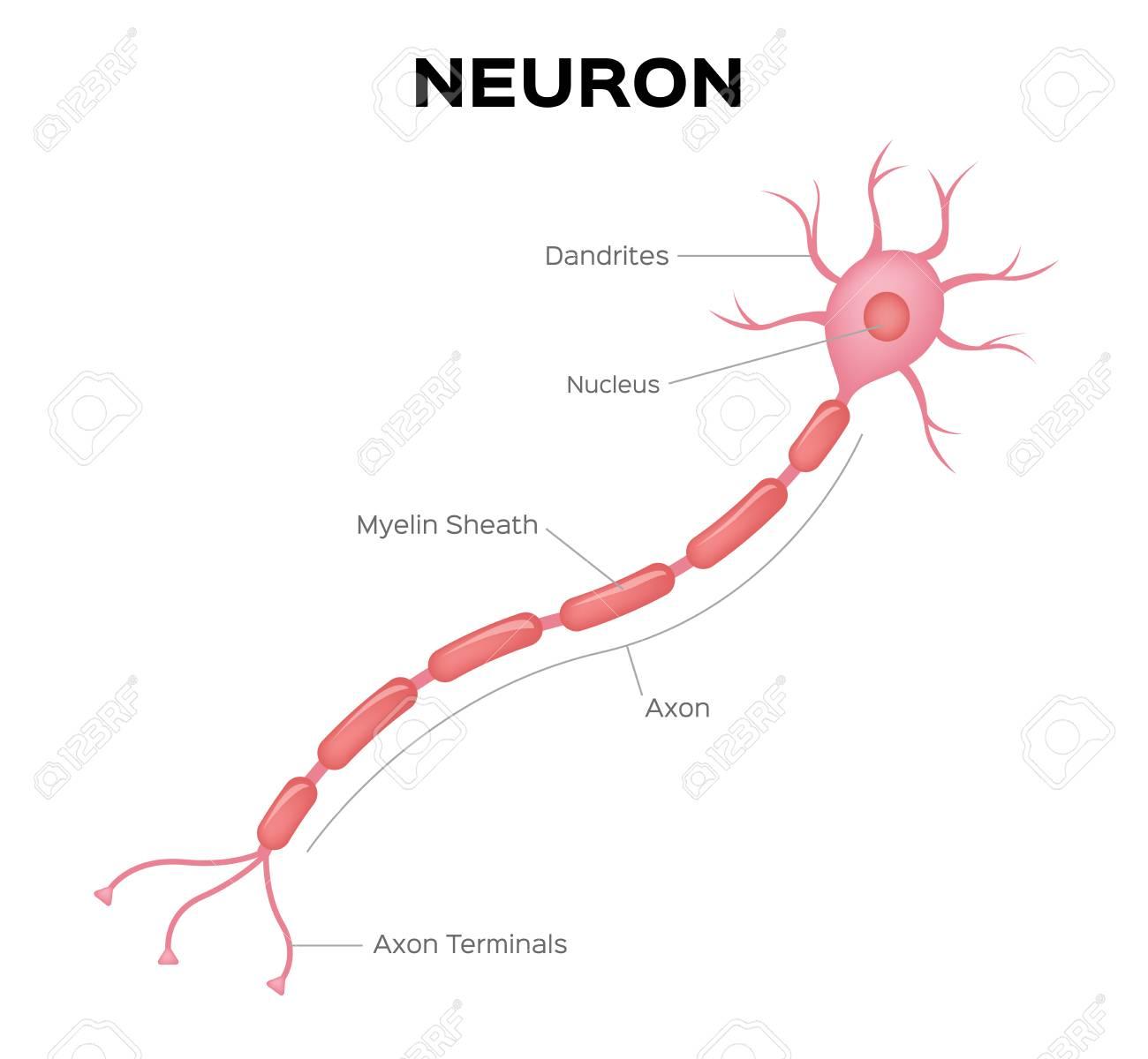Neuron Anatomy Vector Infographic Royalty Free Cliparts Vectors