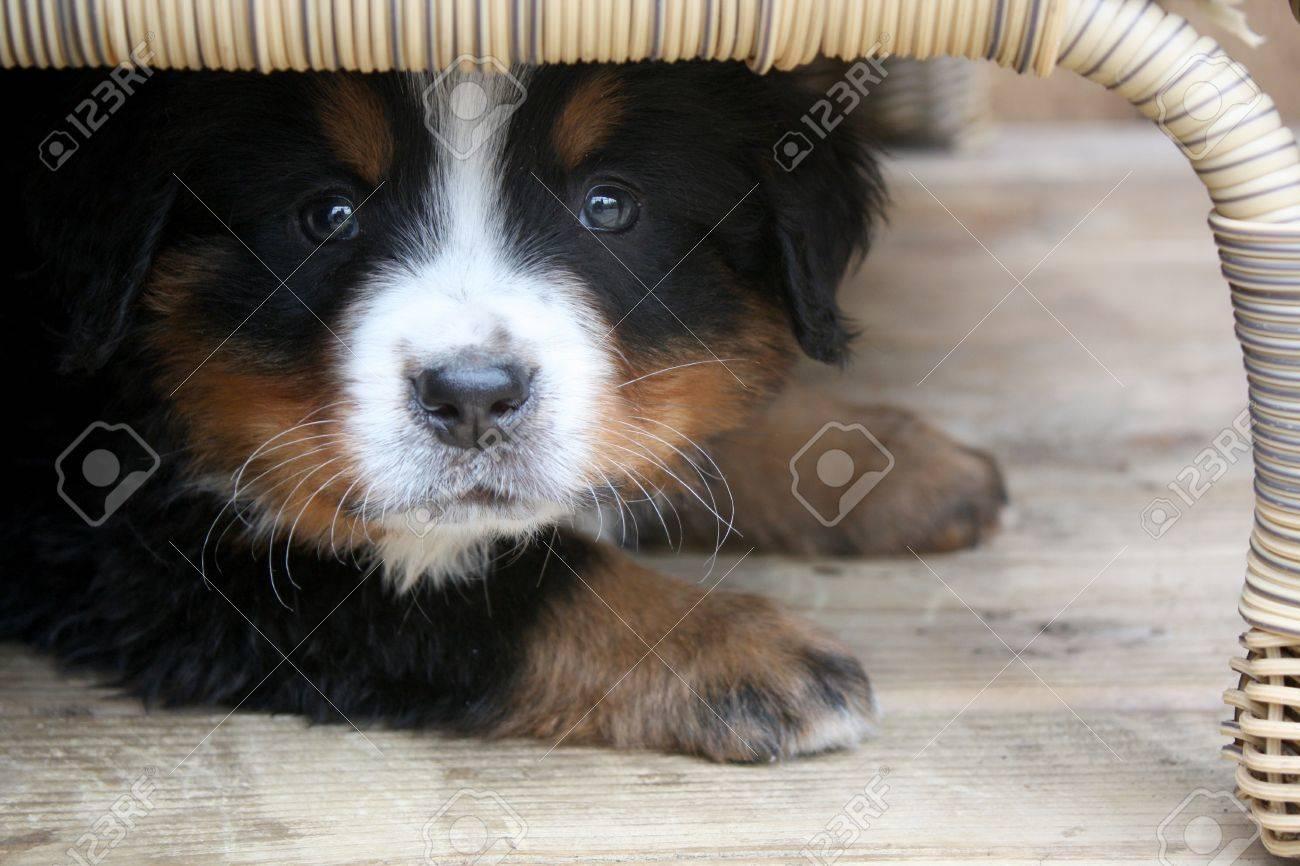 Adorable Puppy Bernese Mountain Dog Hidden Under A Table Stock