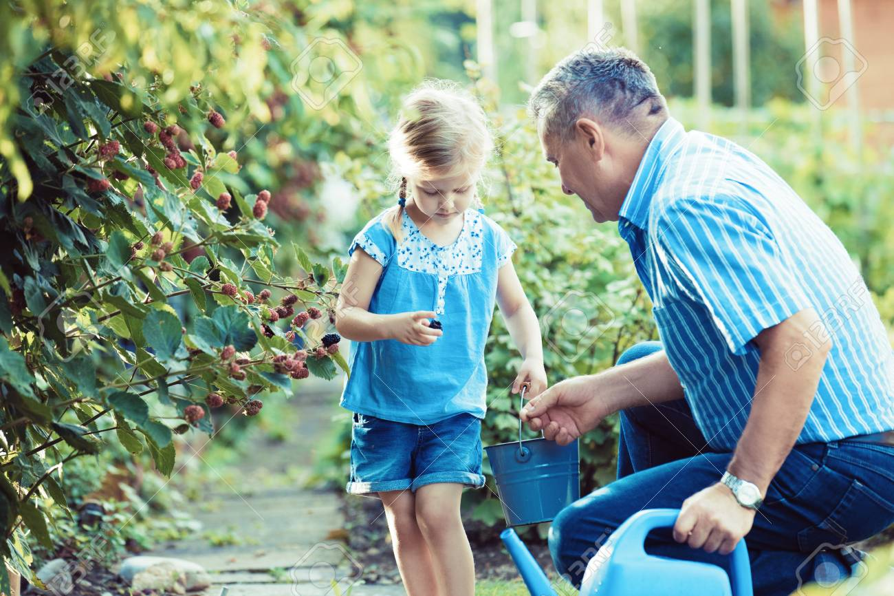 Granddaughter is picking up blackberry with her grandfather in the garden. - 85387947