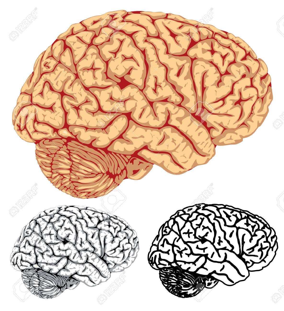 Vector. Human brain Stock Vector - 2750438