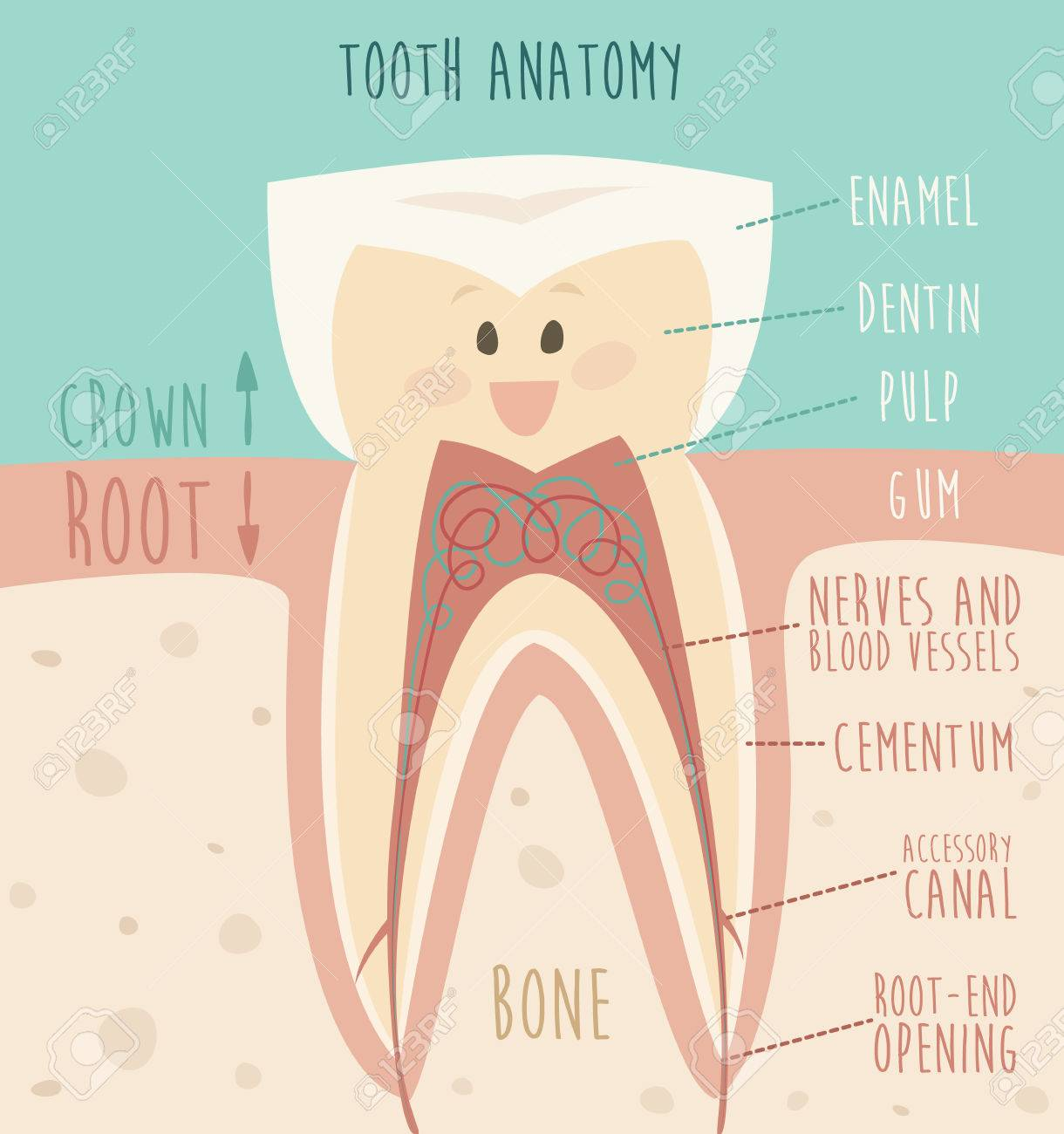 Tooth Anatomy Funny Tooth Concept Of Healthy Teeth Vector ...