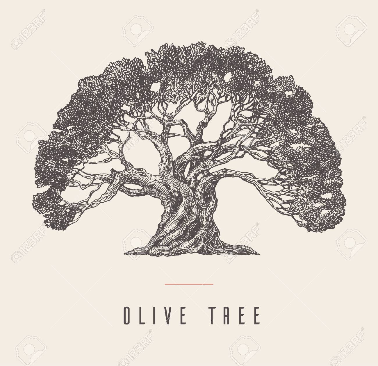 Hand Drawn Vector Illustration Of Olive Tree Vintage Label For Royalty Free Cliparts Vectors And Stock Illustration Image 76150431