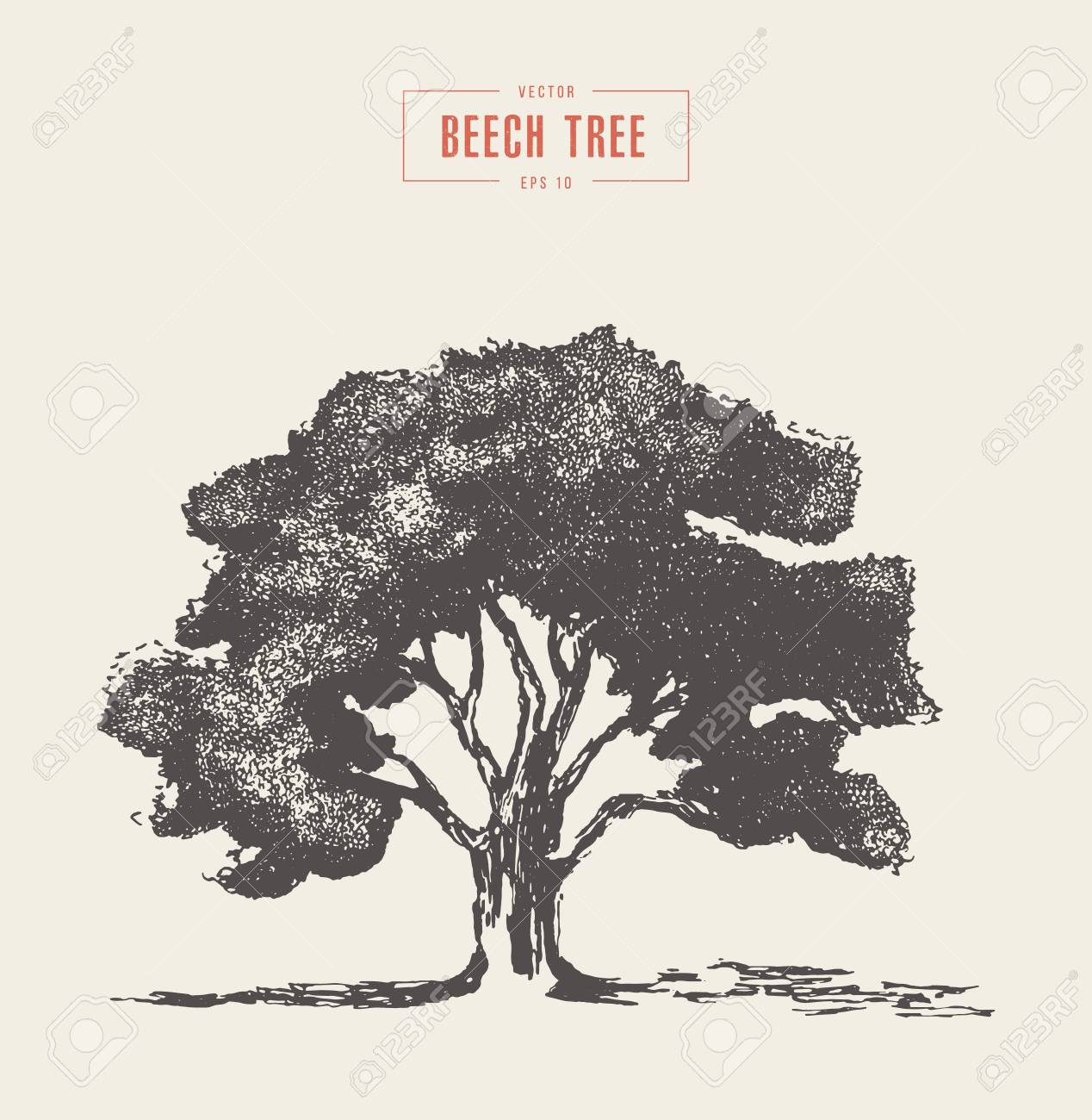 High Detail Vintage Illustration Of A Beech Tree Hand Drawn Royalty Free Cliparts Vectors And Stock Illustration Image 111839790