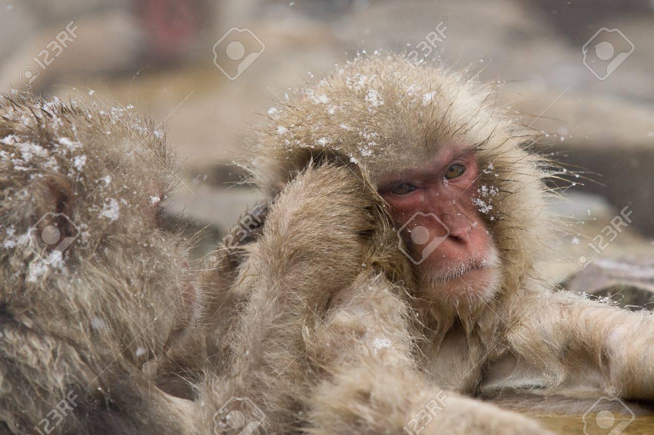 Snow monkeys grooming in hot springJapanese Macaque, Jigokudani Monkey Park, Snow monkey Stock Photo - 17020389