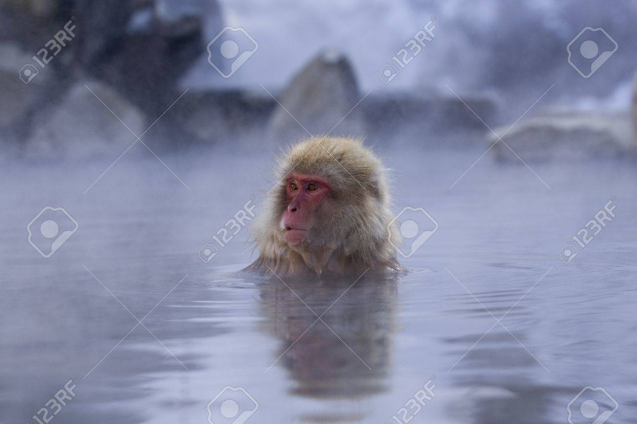Snow Monkey in hot spring Japanese Macaque, Jigokudani Monkey Park, Snow monkey Stock Photo - 17020388