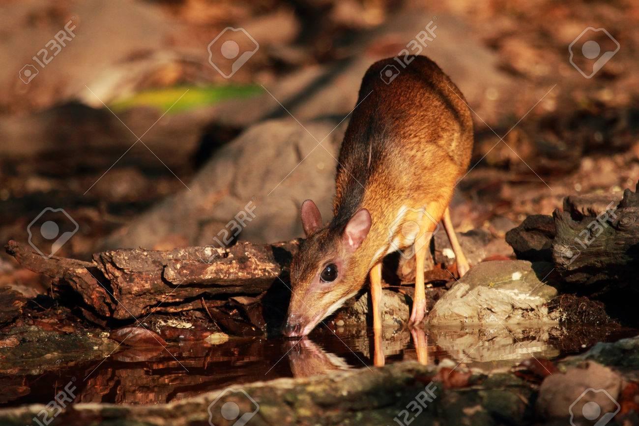 Mouse deer at Kaeng Krachan National Park in Thailand - 33314820