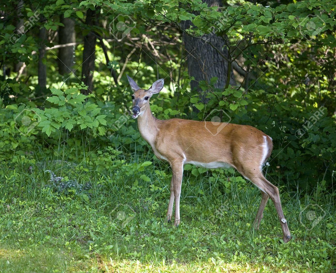 夏の森の端にある whitetail 鹿 doe ロイヤリティーフリーフォト