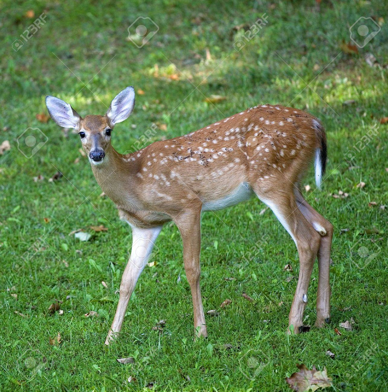 Whitetail deer fawn out in the shade on a grassy field Stock Photo - 8002995