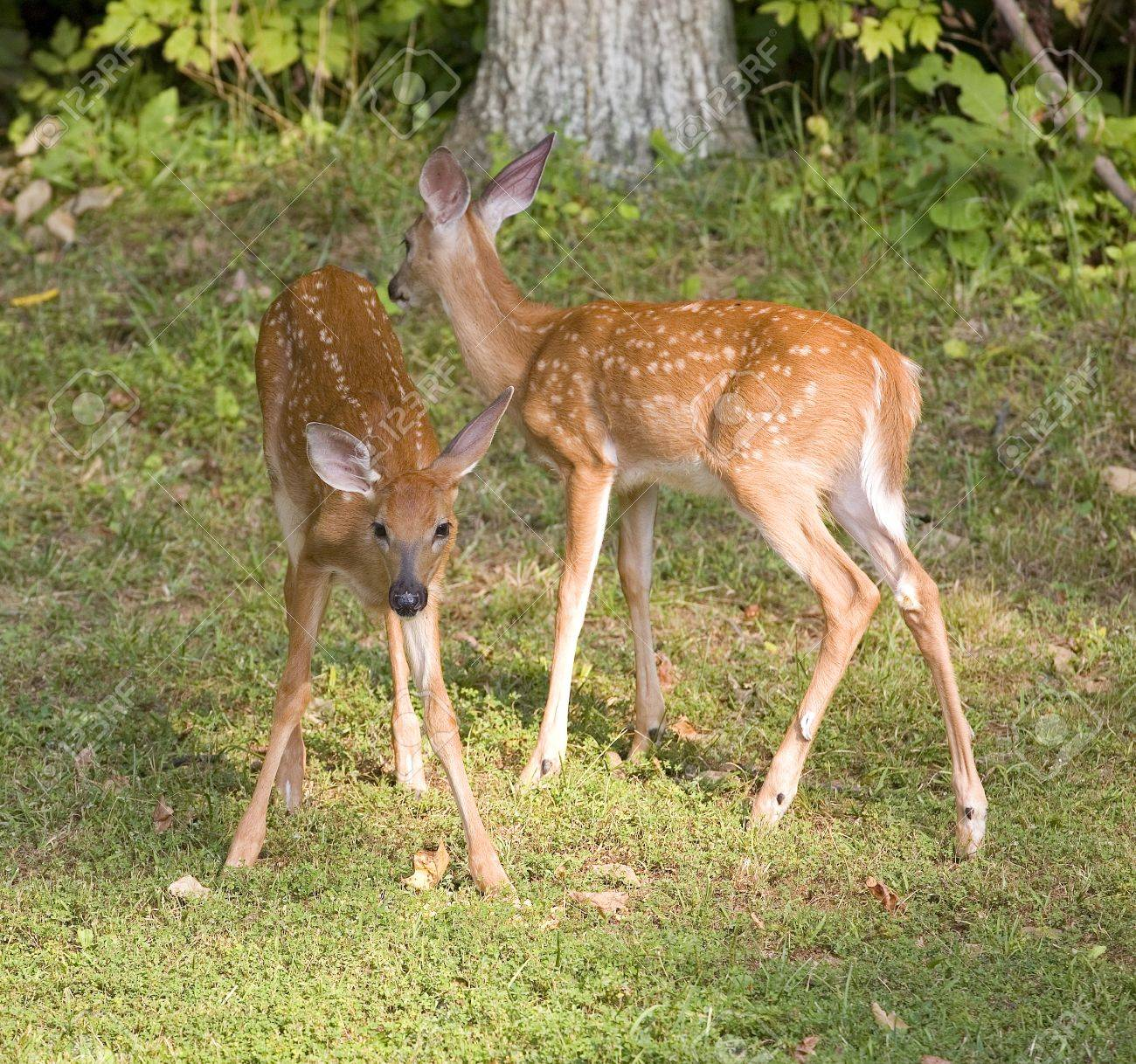 Pair of Whitetail Deer Fawns